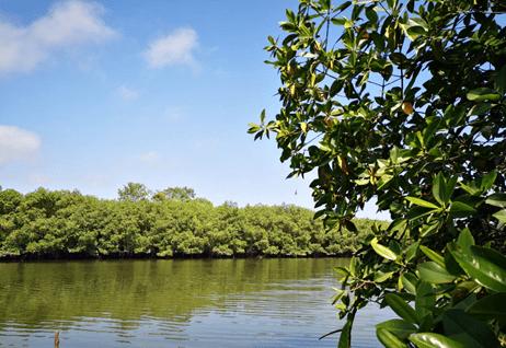 """""""Los manglares no son árboles, son miles de hombres, mujeres, niños y niñas, ancianas y ancianos a quienes Dios heredó esta tierra; el manglar es una forma de vivir, de cantar y sonreír."""" Nelson Estupiñán Bass Escritor esmeraldeño"""
