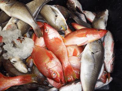 """Si no eres muy """"amigo"""" de comer pescado, a continuación encontrarás importantes motivos para estrechar lazos con estos alimentos. En la gráfica: Rabijuncos (naranjas) y Cabezudos (grises con línea neón), listos para servir de base a deliciosos platos."""